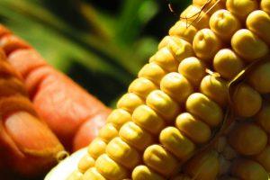 Crece la polémica por el plan para sembrar 250 mil hectáreas de maíz transgénico en Misiones