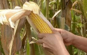 El debate por el maíz transgénico: piden que el proyecto respete la biodiversidad y conservación del suelo