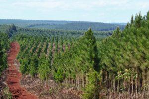 Misiones supera a Corrientes en plantaciones de pino y tiene más chacras con eucaliptus