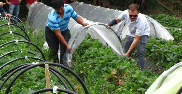 Evalúan un nuevo diseño de microtúneles en cultivos hortícolas