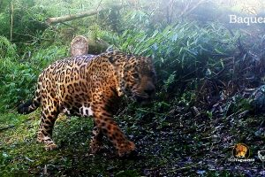 Cámaras trampa detectan un nuevo yaguareté en el parque Provincial Urugua-í