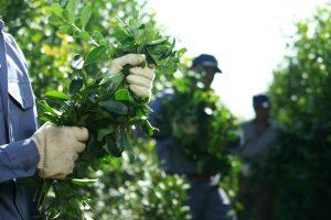 Yerba: un grupo de productores pide $29,15 por kilo de hoja verde o reflotar la idea de 50 centavos de dólar