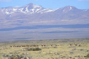 Aumentan tierras públicas en la Reserva Provincial La Payunia, Mendoza, para favorecer la conservación de guanacos