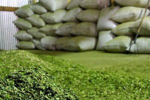 Un estado de Brasil busca producir 20 toneladas de yerba por hectárea y encendió la alarma en Misiones