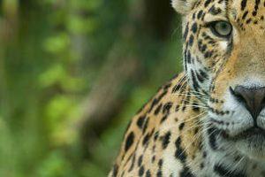 """Con la mirada puesta en la conservación celebrarán por primera vez el """"Día internacional del Yaguareté"""""""