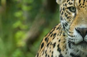 Selva Viva: articulan plan de acción para la conservación del yaguareté