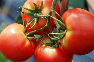 Productores experimentan el cultivo de semillas caseras de tomate y el uso de abono natural