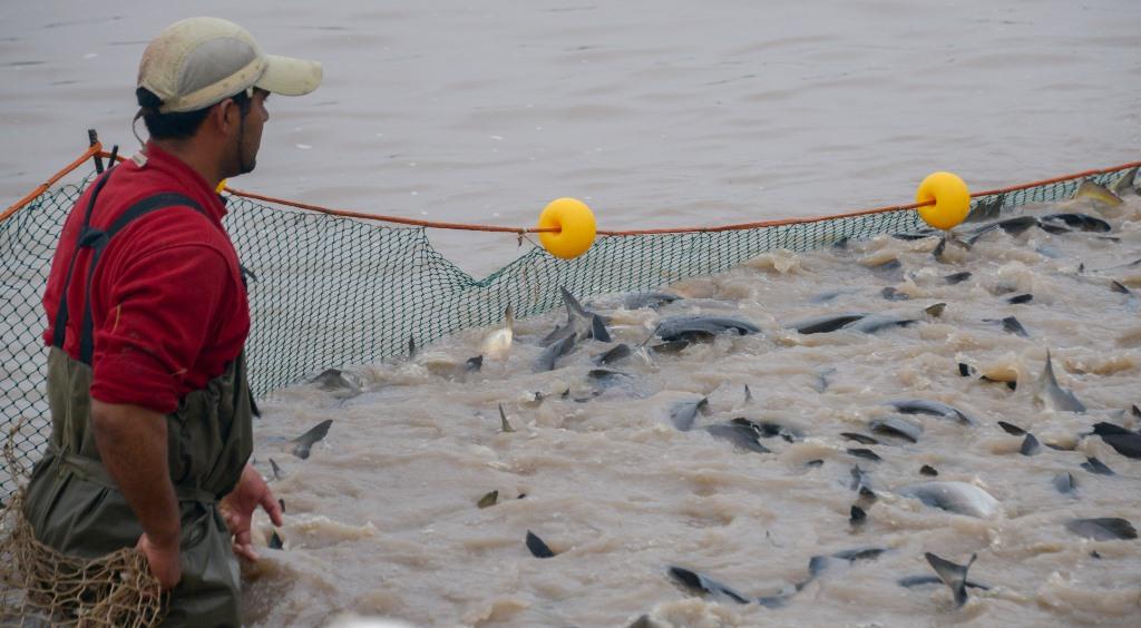 Las Palmas, Chaco Empresa de arroz organico y pacu en acuicultura