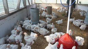 Se reactiva la producción avícola en Escuela Agrotécnica de Eldorado
