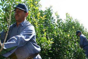 Yerba: Cayó 18% la cosecha de hoja verde, pero se despacharon 4,2 millones de kilos más