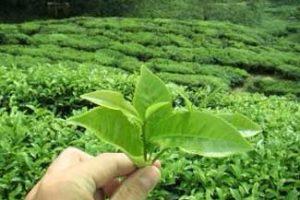 Ministerio de Industria avanza en caracterización del té misionero