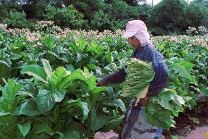 Tabaco: Piden informes sobre cómo se ejecutarán fondos del Plan de Provisión de Fertilizantes para 2018/19