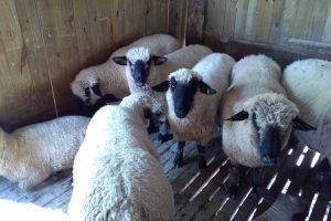 Pagan proyectos de fortalecimiento y desarrollo de la actividad ovina