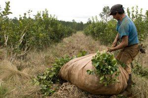 Yerba Mate: Misiones vuelve a ratificar su oposición a la desregulación de los precios