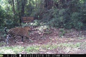 Destacan que el nuevo yaguareté filmado confirma que se desplazan por los extremos más alejados del Corredor Verde