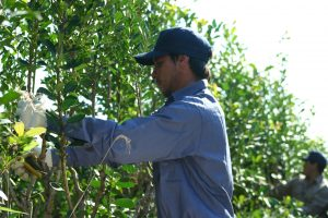 Yerba mate: en diciembre se habilita la cosecha y secanza,y no es necesario notificar previamente al INYM
