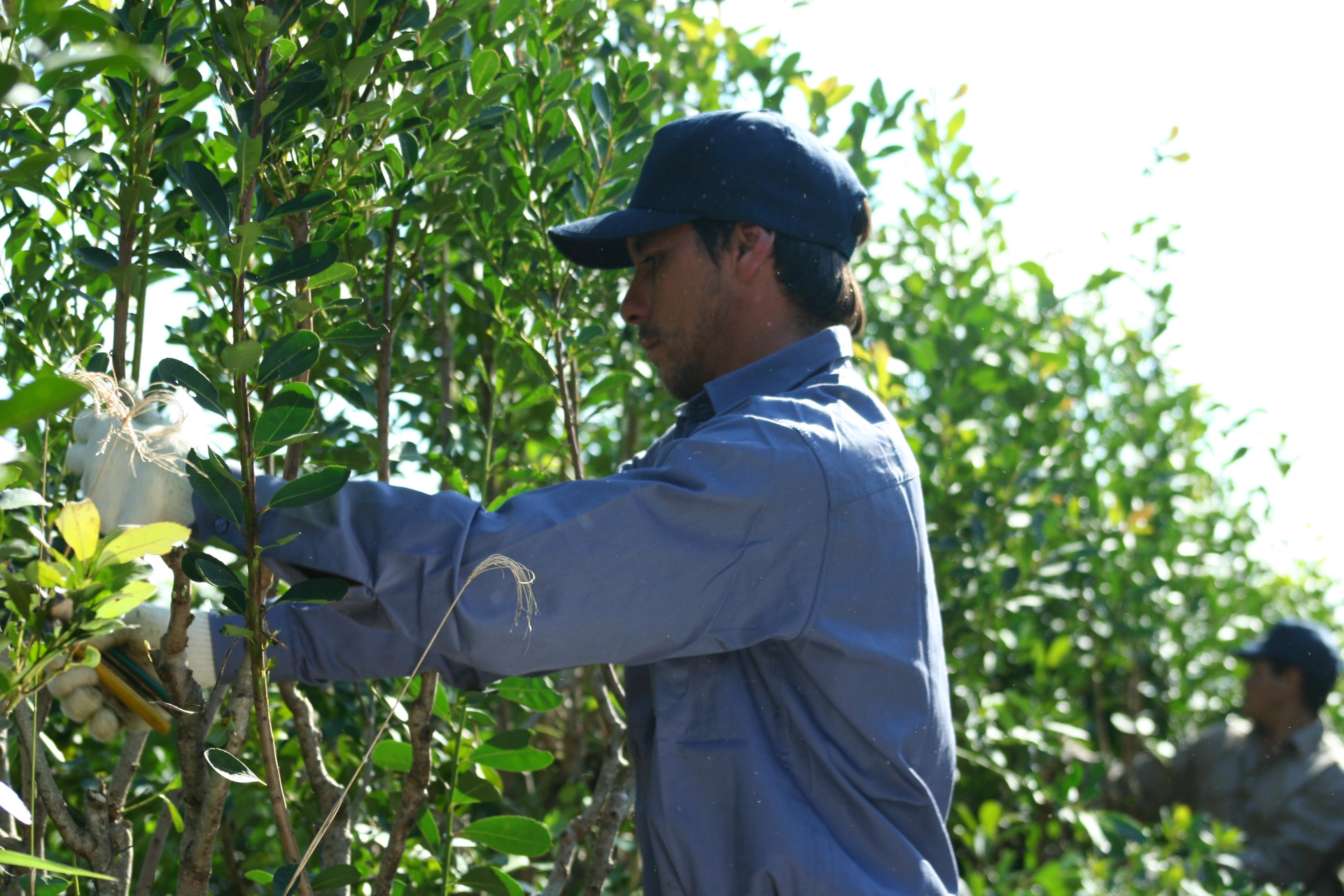 Productores propondrían $25 por kilo de hoja verde de yerba mate