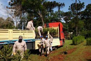 El INTA trabaja en el rescate de la Araucaria Angustifolia
