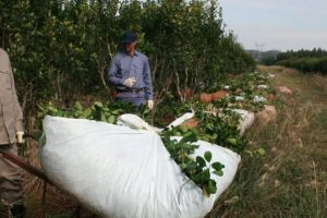 El consumo y la exportación de yerba mate cerrarán un año récord, según el INYM