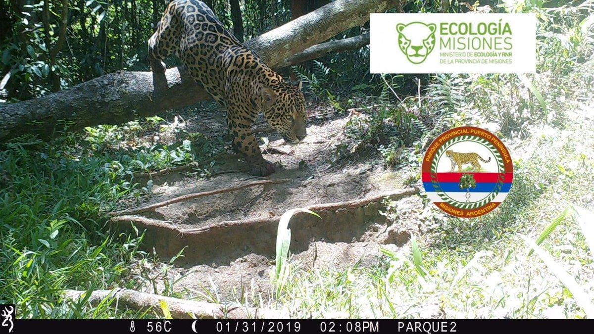 Detectaron un yaguareté en el parque Puerto Península