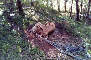 El Senasa detectó un brote de rabia paresiante en Misiones