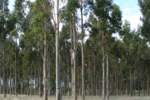 Creció casi un 800 % la venta de semillas de eucalipto para producir papel