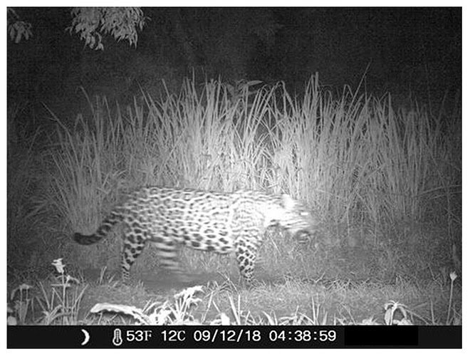 Registro de yaguareté (Panthera onca) con cámara trampa en el Parque Nacional Iguazú. Ph: Parques Nacionales