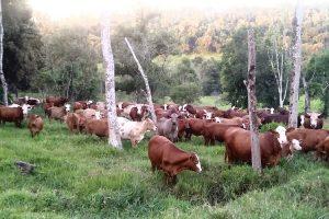 Plan ganadero: Misiones ahorrará cerca de 50 millones de dólares en la compra de carne a otras provincias