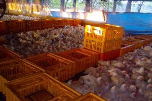 Bienestar en aves de corral, una conjunción entre cuidado del animal y la productividad