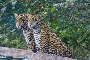 Corrientes celebra el primer cumpleaños de los dos yaguaretés nacidos en el Parque Nacional Iberá