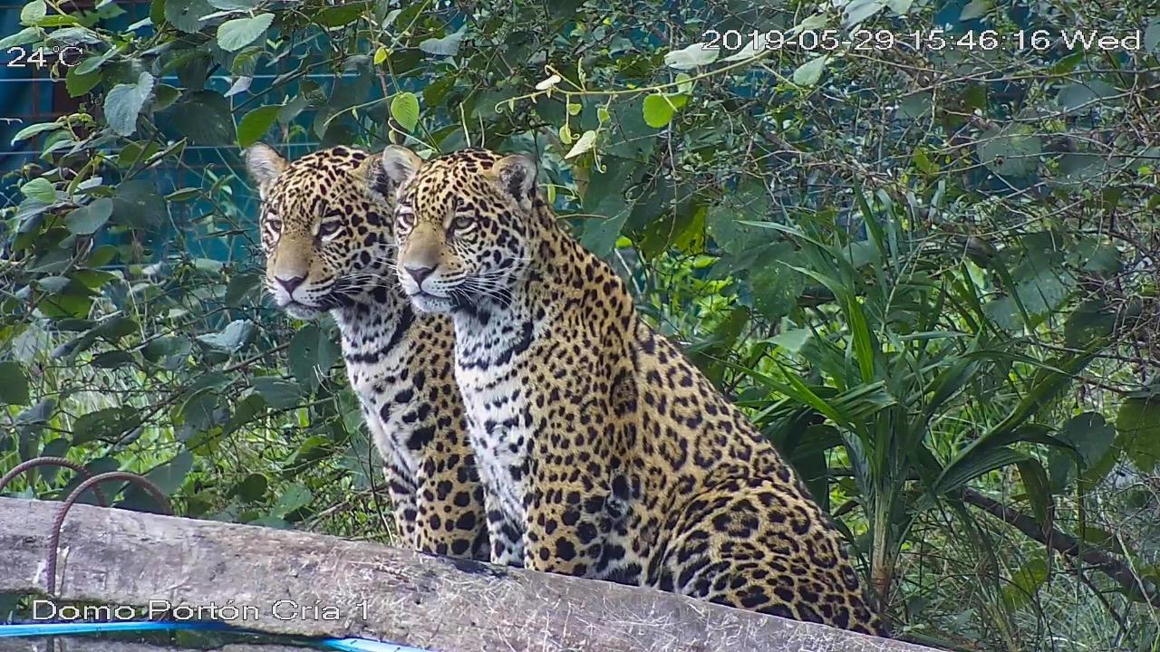 El Yaguareté vuelve a rugir en Corrientes después de 70 años de extinción