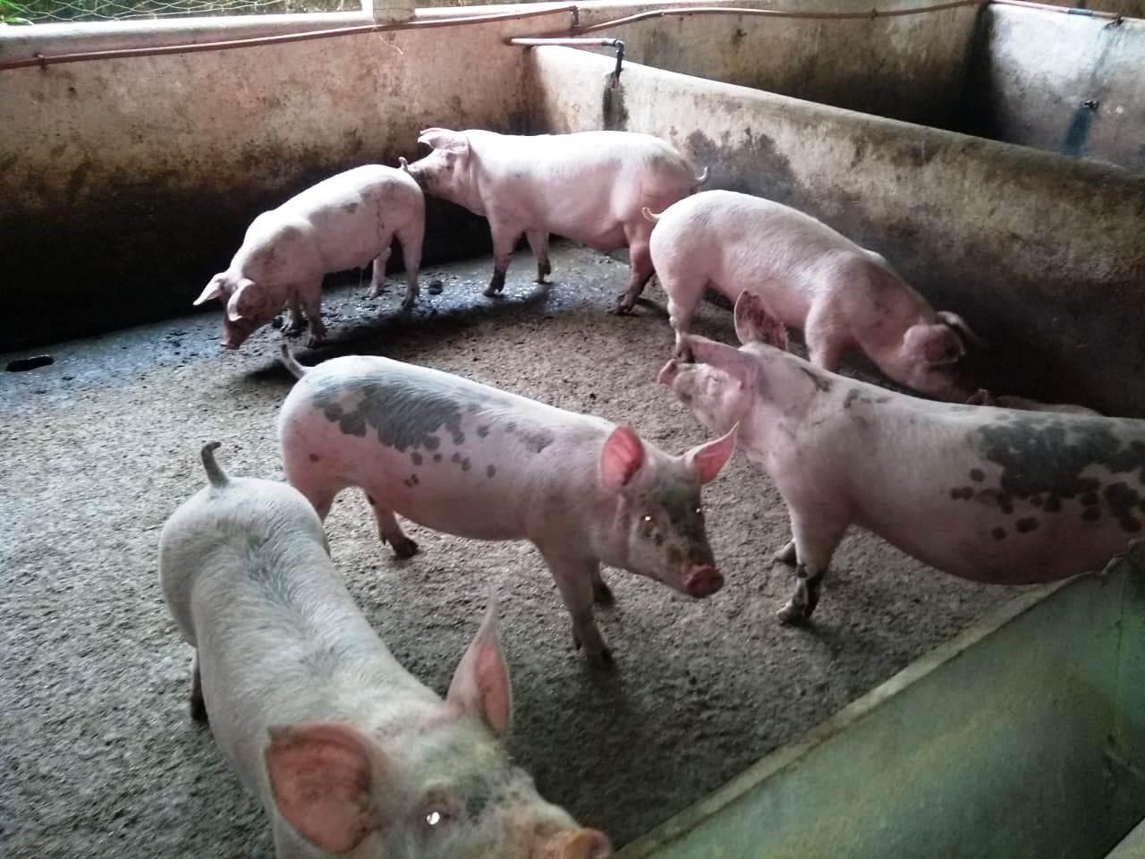 Informatizarán criadero de cerdos para ver la productividad