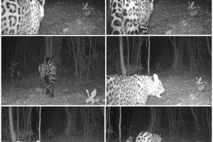 Cámaras trampa registran pareja de yaguaretés en la selva misionera