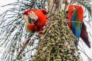 De alto vuelo: por primera vez pusieron huevos los guacamayos rojos reinsertados en El Iberá