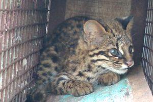 Rescate y vuelta a la naturaleza de un Gato Tirica