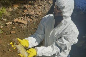 Limpieza del arroyo Vicario: ya se retiraron más de 300 kilos de peces muertos