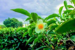 """""""El COVID-19 no afectó la cosecha de té, pero tenemos demoras en el envió de las exportaciones"""""""
