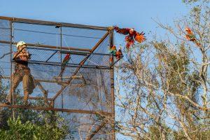 Liberan cinco guacamayos rojos al norte del Gran Parque Iberá para fundar una nueva población silvestre