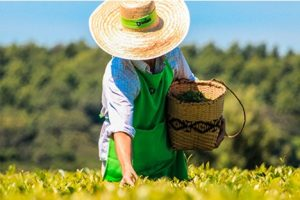 La exportación de té cayó 4% y se estima una merma de producción de entre 15 y 20%