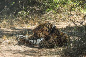 'Qaramta': Crónica de un yaguareté enamorado