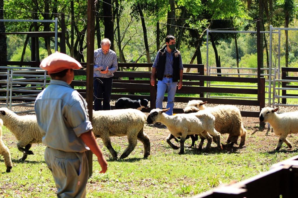 Con créditos provinciales se incorporaron más de 100 ovinos de buena genética