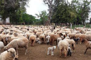 Este viernes se realizará el remate de ovinos, caprinos y equinos en San José