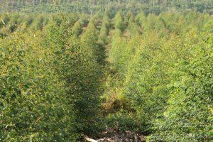 El precio del raleo será el debut del directorio del Instituto Forestal