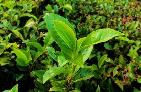 Fijan precios y fechas para el inicio de la cosecha de té