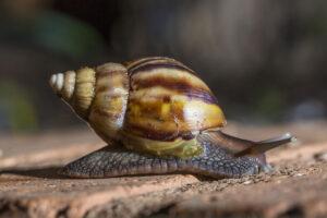Ambiente declaró al caracol gigante africano como dañino y perjudicial para la biodiversidad