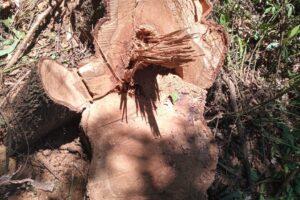 Decomisan rollos de madera nativa de la especie peteribí