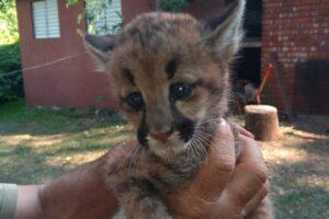 Rescataron cría de Puma de un incendio en El Alcázar