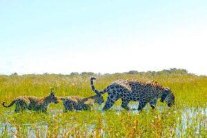 Histórico: los yaguaretés vuelven a caminar libres en los esteros del Iberá