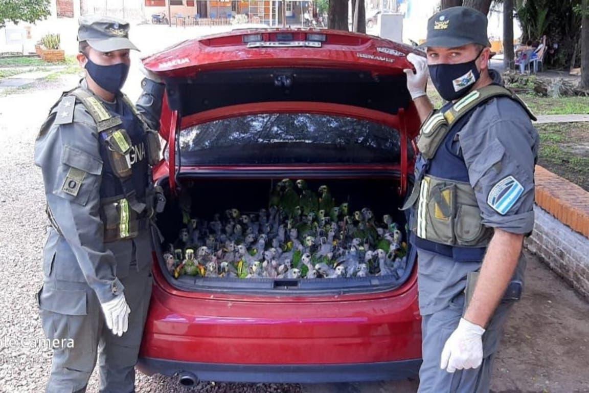 Llevaban de contrabando más de 200 loros en el baúl del auto
