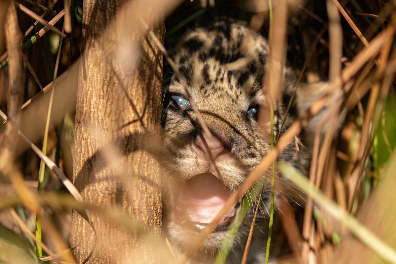 Revolución de la naturaleza en Iberá: nació la tercera camada de yaguaretés